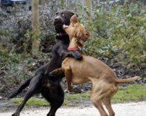 Agressie bij honden : wat doe je als honden vechten?