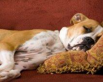 Antibiotica tegen een urineweginfectie (Bij je hond)