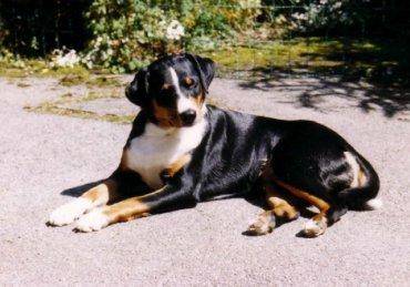 Appenzeller sennenhond