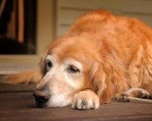 Oudere labrador