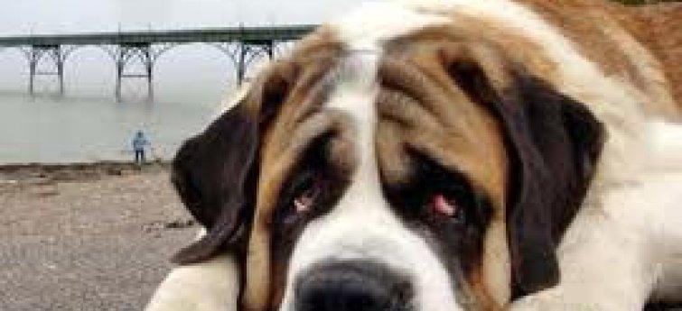 Bloedarmoede bij honden