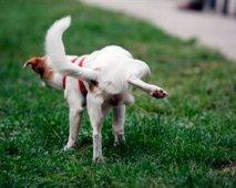 Bloed in de urine van je hond? Geen paniek!