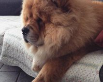 Chilling chow chow