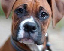 De Boxer: Een speelse vriend