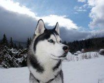De Siberische Husky, niet zomaar een hond