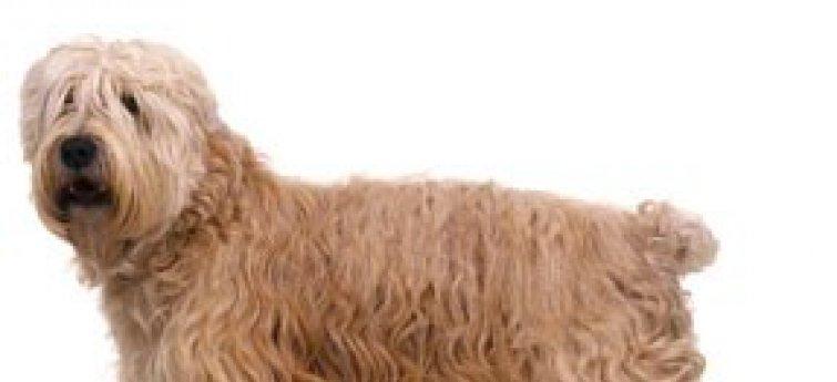 De Soft Coated Wheaten-Terrier