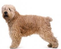 De Soft Coated Wheaten-Terrier