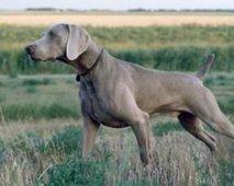 De behandeling en preventie van letsels van een jachthond