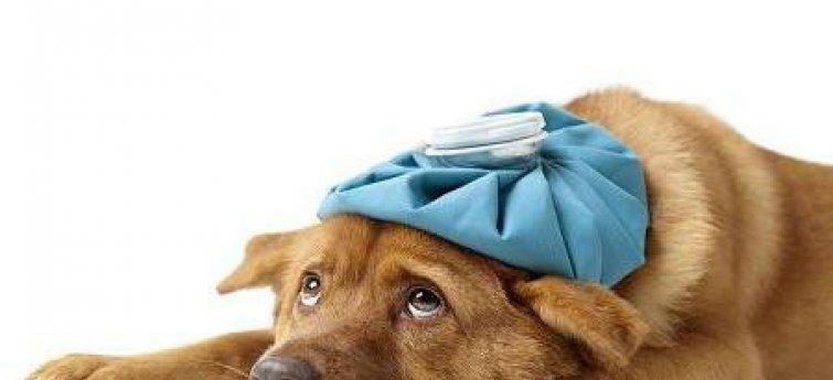 De belangrijkste hondenziektes