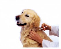 De effecten van Parvovirose op de gezondheid van honden
