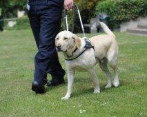 De labrador retriever, een echte held!