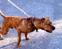 De mythes rond 'gevaarlijke' hondenrassen
