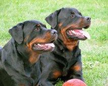 De slechte reputatie van de Rottweiler, waar ligt de oorzaak?