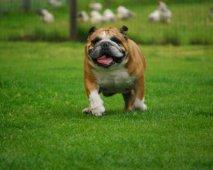 Een Bulldog voor het leven