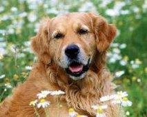 Een oudere Golden Retriever in huis nemen, meer voordelen dan je denkt
