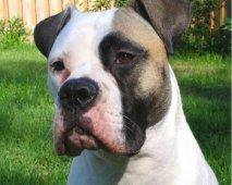 Enkele tips om je Amerikaanse Bulldog op te voeden