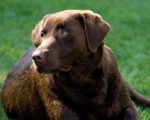Honden van het labrador retriever ras