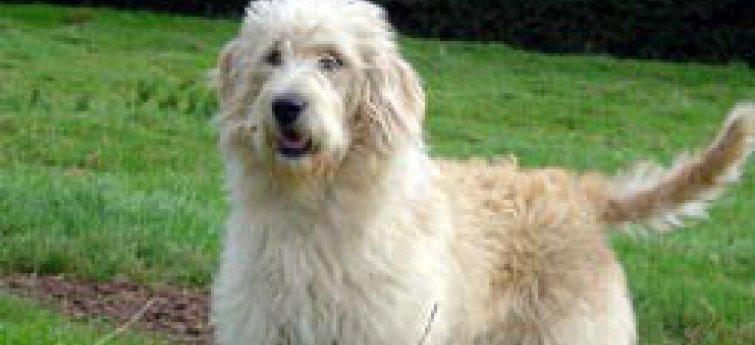 Hypoallergene hondenrassen