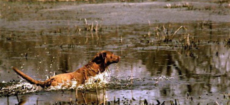 Jachthonden met overgewicht en ondergewicht