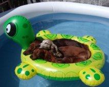 Hond in zwembadje