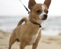 Klein maar dapper: De Chihuahua