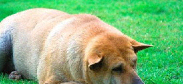 Let op met overgewicht bij je hond!