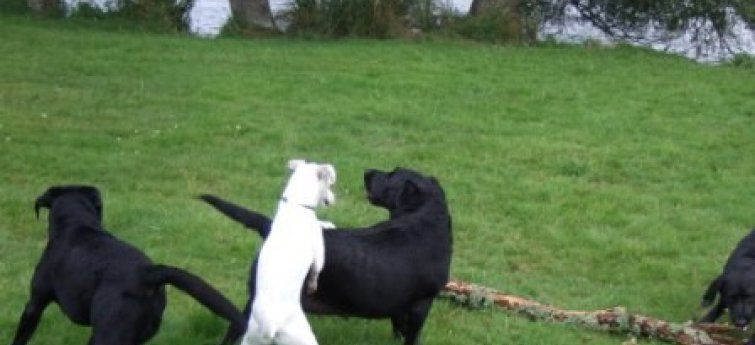 Loopsheid bij de hond