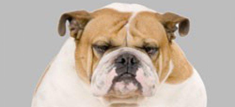 Overgewicht bij honden.