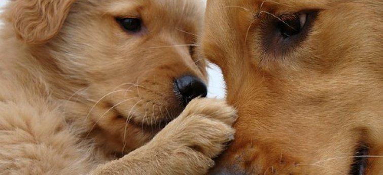 Schijnzwangerschap of schijndracht bij je hond