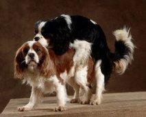 Seksueel overdraagbare ziektes (SOA's) bij honden