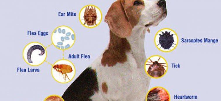 Uitwendige en inwendige parasieten bij een hond