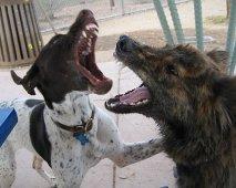 Waarom honden vechten