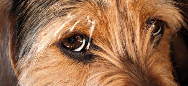 starende hond