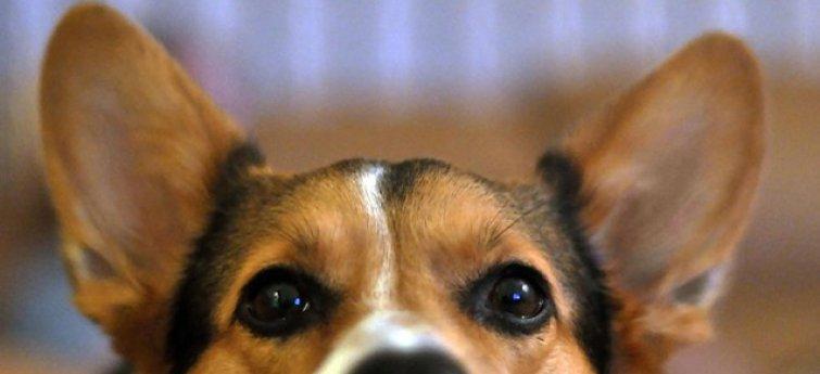 Reinig de oren van je hond regelmatig