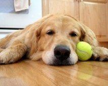 Slaperige hond