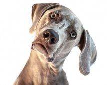 Waarom buigt mijn hond zijn kop?